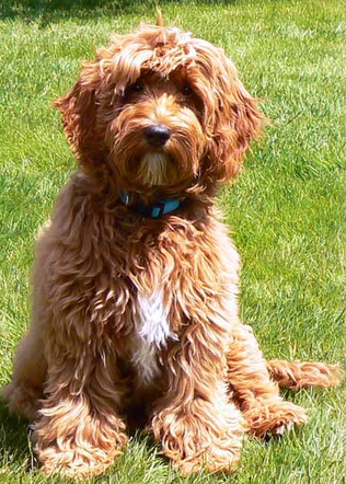 The Three Types of Labradoodle Coats | Copper Canyon ...