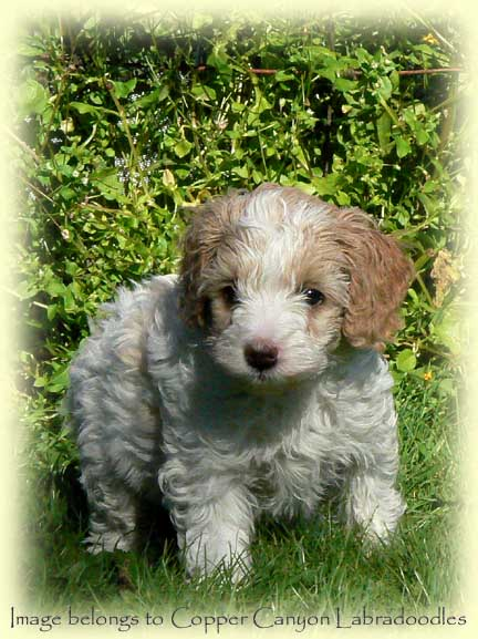 Parti Labradoodle Puppy from Copper Canyon Labradoodles