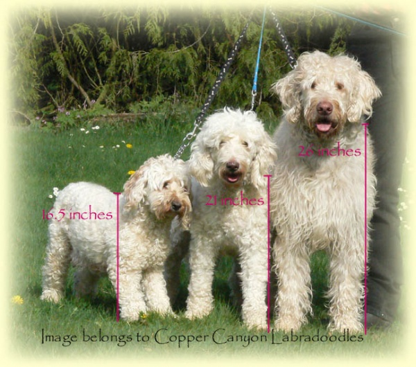 SizeComparisonLabradoodles