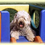 Here Are 5 Reasons Why The Australian Labradoodle Is So Popular