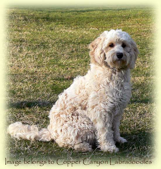 Tawney's 2015 Mini Labradoodle Puppies | Copper Canyon ...