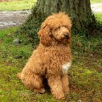 Spring Cleaning: Keeping a Labradoodle's Fur Mud Free
