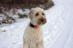 Labradoodles and Winter Weather