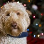 Celebrating Christmas With Your Labradoodle: Holiday Safety Tips