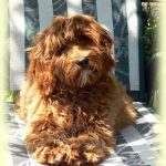 History of the Australian Labradoodle