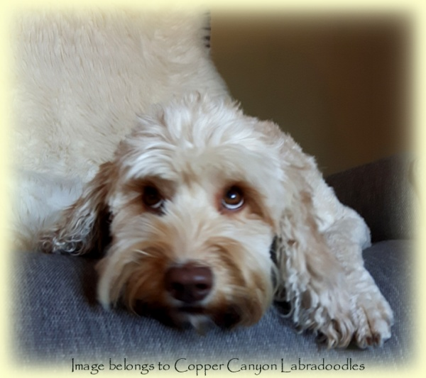 cream australian labradoodle dog