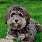 Interesting Information About Australian Labradoodles
