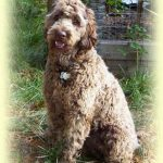 Reasons to Add an Australian Labradoodle to Your Home