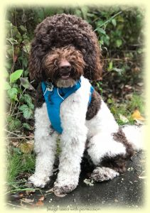 Milo from Copper Canyon Labradoodles