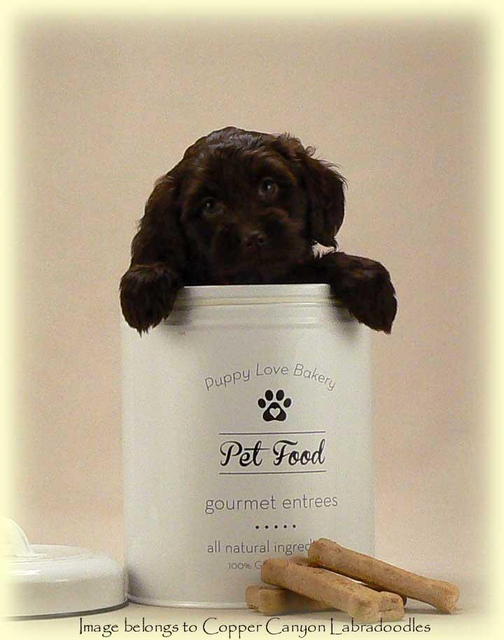 chocolate miniature australian labradoodle puppy