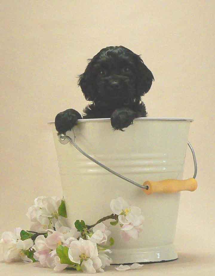 black micro mini australian labradoodle puppy