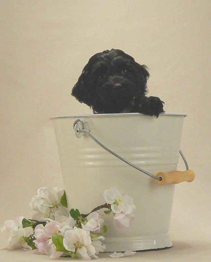 small black australian puppy