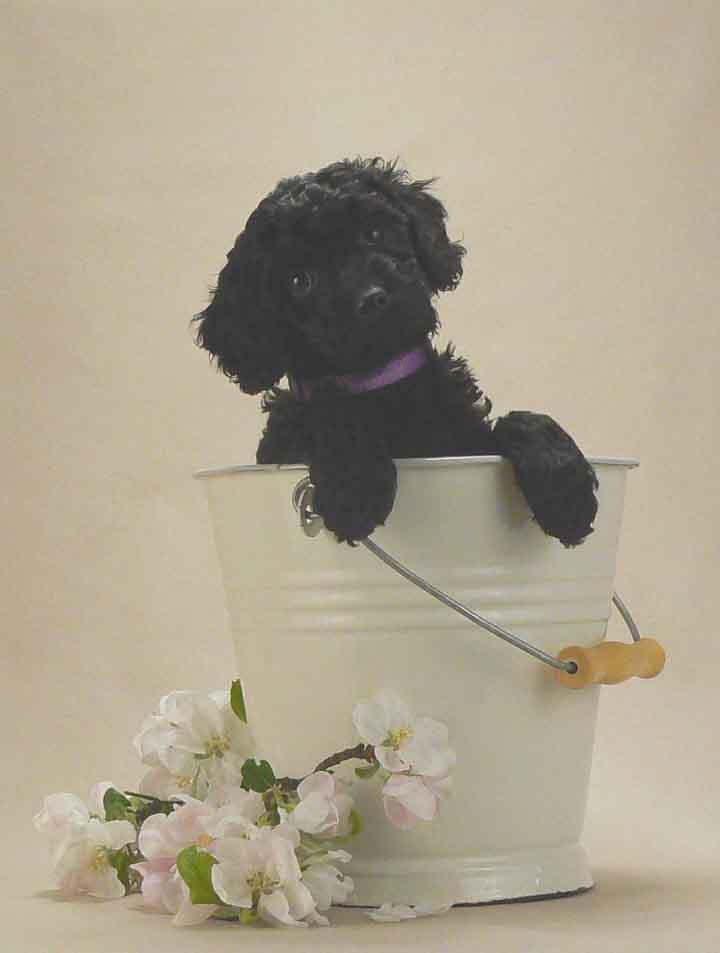 black 8 week old australian Labradoodle puppy