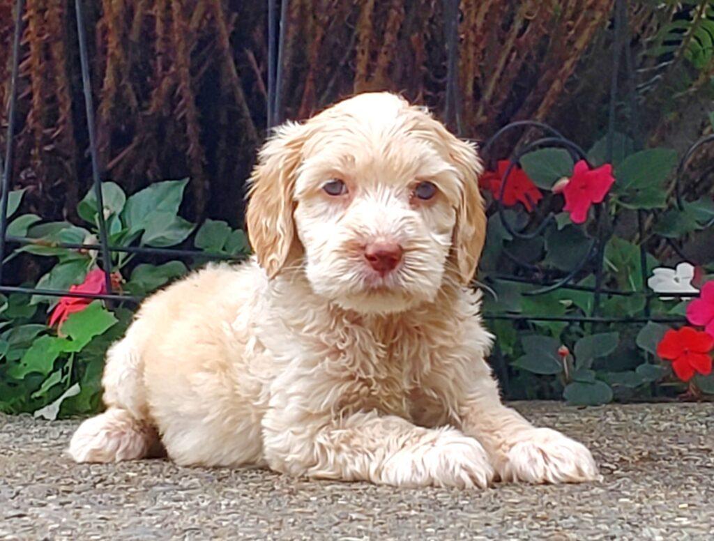cream labradoodle puppy