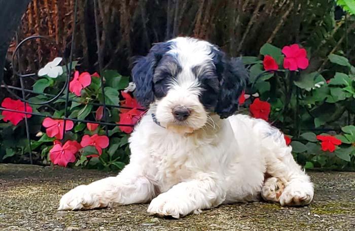 Tricolour Australian Labradoodle puppy