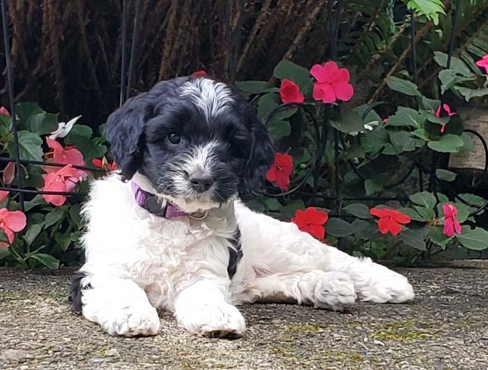 black and white parti Australian Labradoodle puppy
