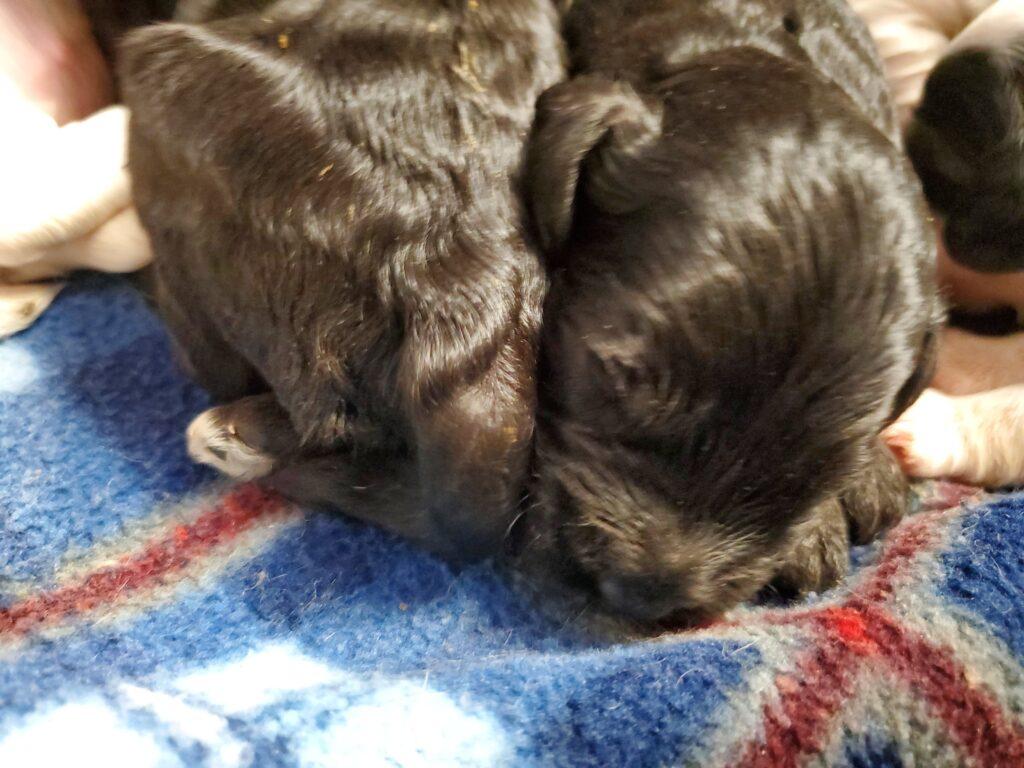 two black labradoodle puppies